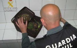 Detenido un hombre por transportar sin documentación una tortuga mora desde Africa