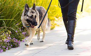 Mascotas perro escolta