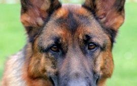 Los perros de protección: animales donde la tecnología no llega