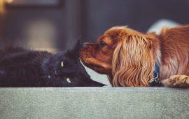 Diabetes mellitus en perros y gatos