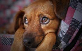 Urgencias veterinarias: mi perro se ha tragado un calcetín