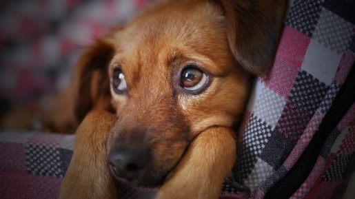 Urgencias perros