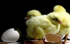 Los cuidados necesarios para cuidar un pollito de gallina