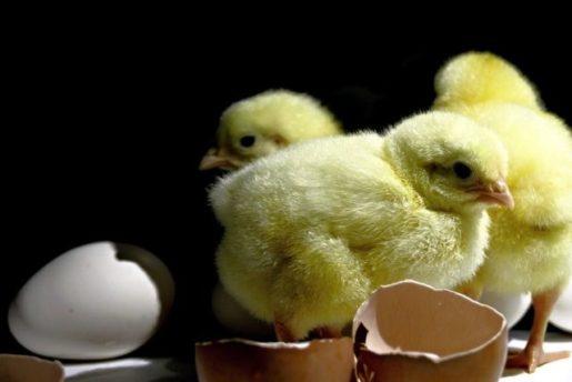 Pollito de gallina