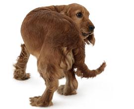 Cachorro Adolescente