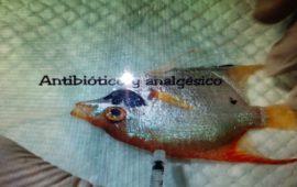 Biopsia excisional en un pez escalar