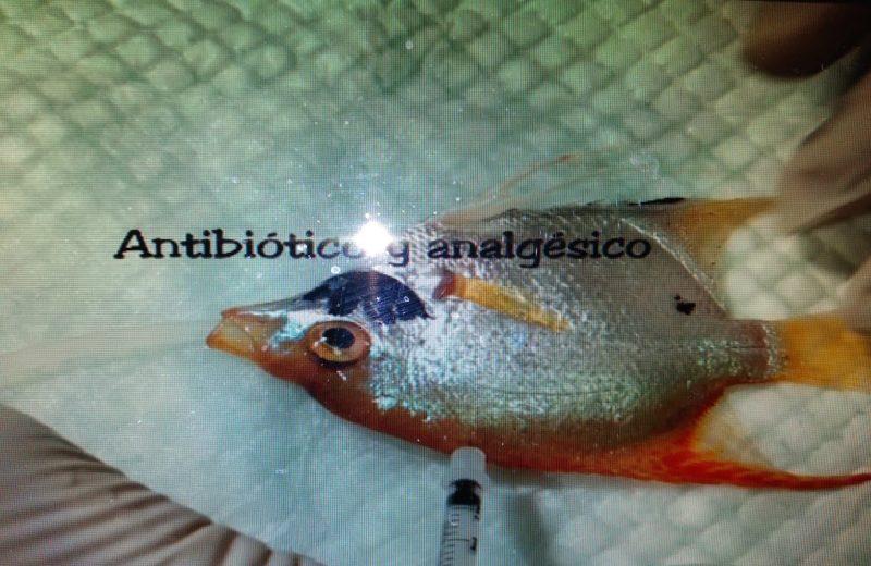 Biopsia en un pez escalar