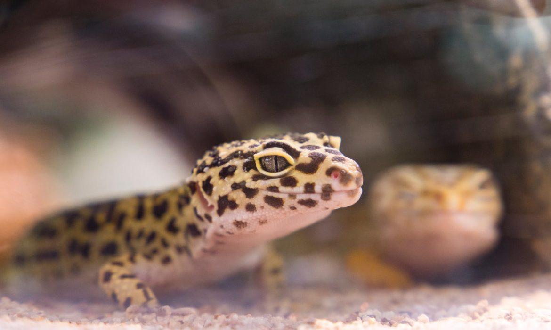 ¿Por qué ha dejado de comer mi Gecko Leopardo?