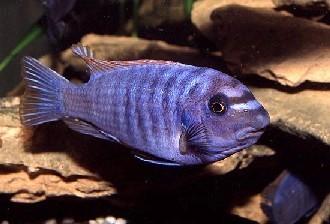 Labeotropheus trewawasae