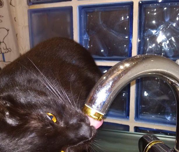 Gato bebiendo