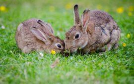 ¿Los conejos viven mejor solos o acompañados?
