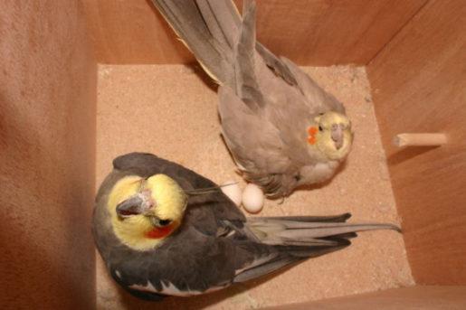 Puesta crónica de huevos