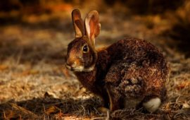 ¿Qué diferencia hay entre un conejo de campo y uno doméstico?