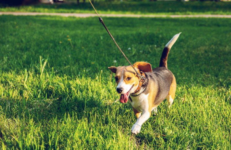Los perros reconocen emociones de otros según para dónde tuerzan la cola