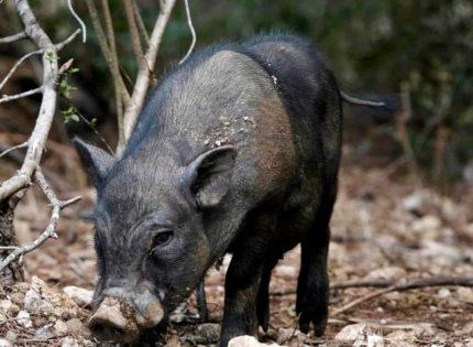 La falta de 'ética' en la gestión de los cerdos vietnamitas por parte de la Generalitat de Catalunya