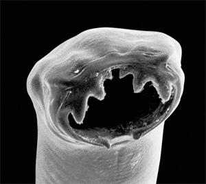 ¿Qué es el Ancylostoma caninum?