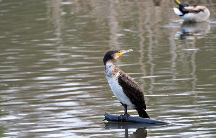 Asturias vuelve a autorizar un año más el control letal de cormoranes