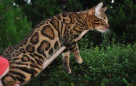 Mi gato tiene genes de leopardo