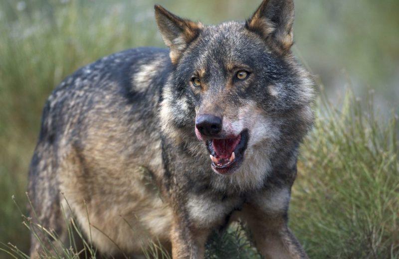 De lobos, humanos y administraciones públicas incompetentes