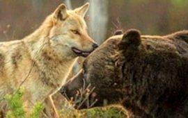 Las Comunidades Autónomas desaprovechan la financiación europea para prevenir los daños de lobo y oso