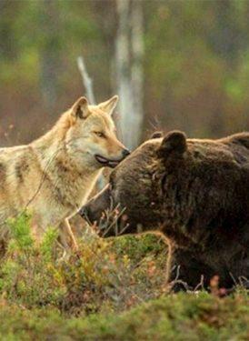 Lobo y oso