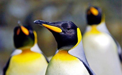 Pingúino emperador
