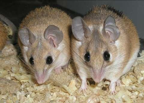Alimentación y cuidados del ratón espinoso