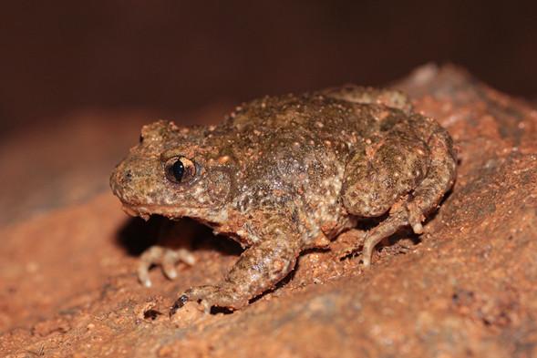 Descubren dos nuevas especies de anfibios en la península ibérica