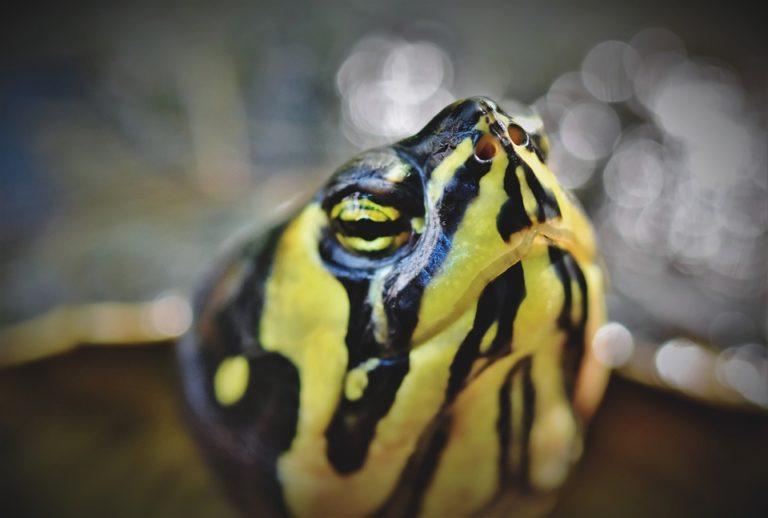 Enfermedades más comunes en las tortugas de agua
