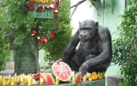 ¿Cuántos años puede vivir un chimpancé?