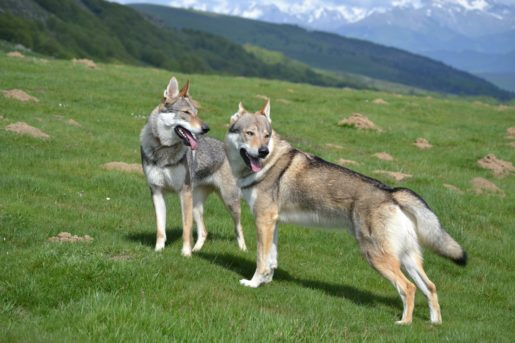 Perros Lobo Checoslovacos