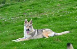 ¿Es el Perro Lobo Checoslovaco apto para todo tipo de personas?