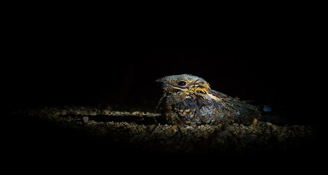 Las aves nocturnas se podrían comunicar con la fluorescencia de sus plumas