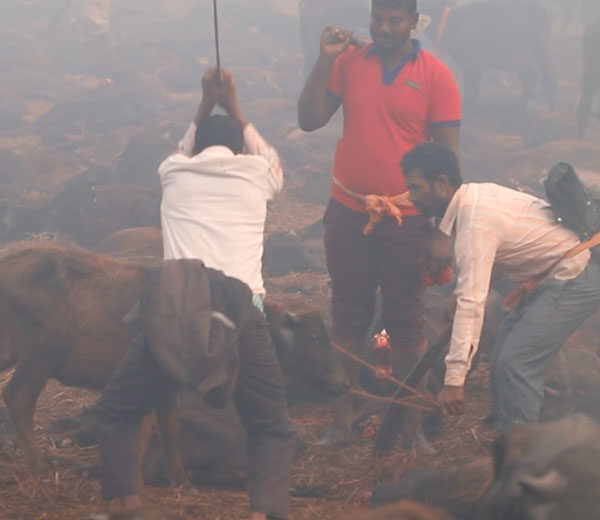 Festival de muerte Gadhimai