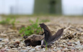 Los murciélagos colisionan contra las turbinas eólicas
