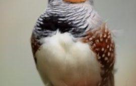 Las neuronas de los pájaros se encienden con su propio canto