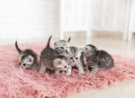 ¿Qué es el síndrome de desvanecimiento que afecta a gatos?