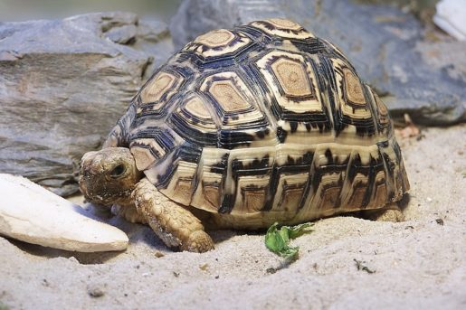 Geochelone_pardalis - Tortuga pardalis