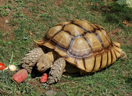 Tortugas Pardalis y Sulcata, cuidados y alimentación