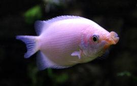 El gurami besador: un besucón en el acuario