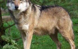 Cómo y por qué nació el perro lobo checoslovaco