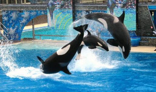 Orcas Zoo San Diego