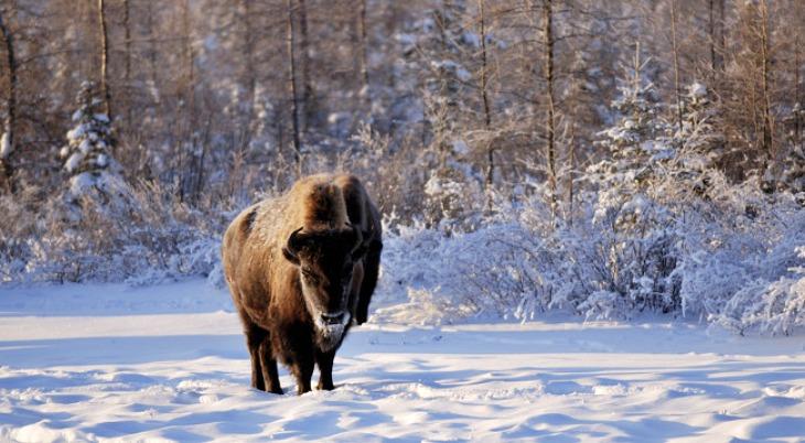 Introducir un gran número de herbívoros para salvar el 'permafrost'