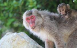 Por qué la cara de la hembra de macaco japonés se vuelve más roja