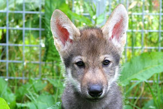 Un cachorro llamado Flea de una camada nacida en 2015./ Christina Hansen Wheat
