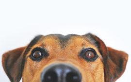 Por qué los perros resisten a las enfermedades priónicas
