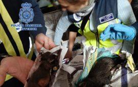 Las protectoras de animales FAPAM y ANAA se hacen cargo de los 270 chihuahuas rescatados