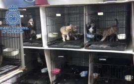 La Policía Nacional desmantela en Madrid dos criaderos ilegales de chihuahuas y rescata 270 perros
