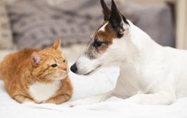 ¿Qué es el quilotórax y qué síntomas presenta en un perro?