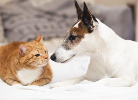Síntomas que puede presentar un animal afectado por quilotórax,